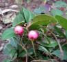 teaberry IMGP5918