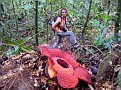 Rafflesia, Borneo Malaysia