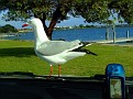 Bonnet Seagull 009
