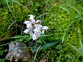 Orchis lactea (13)-001