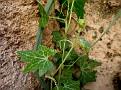 Bryonia cretica (2)