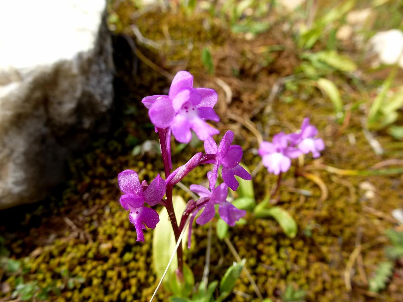 Orchis quadripunctata (5)
