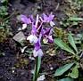 Dactylorhiza romana (4)