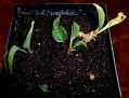 Sansevieria concina lavranos 5933  (8)