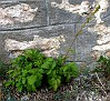 Agrimonia eupatoria  (12)