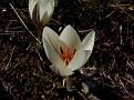 Crocus biflorus subsp  melantherus (5)