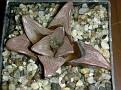Haworthia mutica -Riversonderend