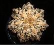Astrophytum myriostigma cv. HAKUUN FUKURYU HAKUJYO OOIBO RAMPOW