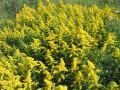 wilde bloemen in het veld 001  canadese guldenroede 1