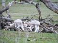 Lambs playing on Yarras Lane Bathurst 001