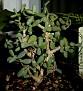 Ceraria pygmaea (1)