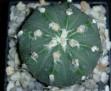 Astrophytum cv  'Hakushin'