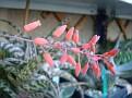 Aloe cv  'baby lizard'