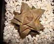Haworthia emelyae v. major x Haworthia venosa