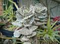 Kalachoe rhombopilosa