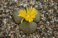 Lithops aucampiae Postmasburg C257 3 leaved form