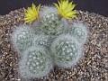 Mammillaria broomii