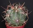 Ferocactus sp [2006-025]