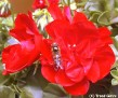 Pelargonium & Fly