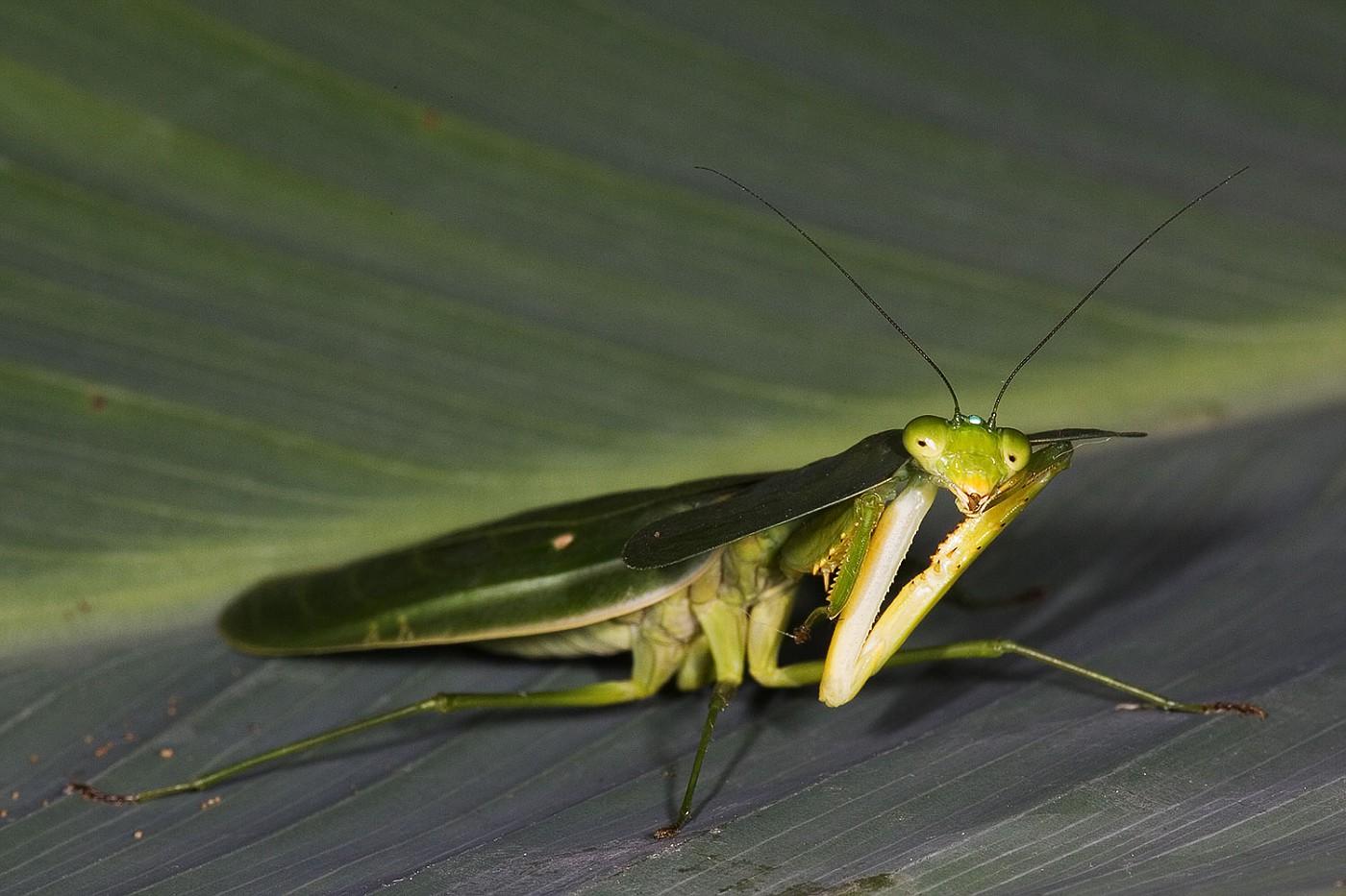 preying mantis 4349