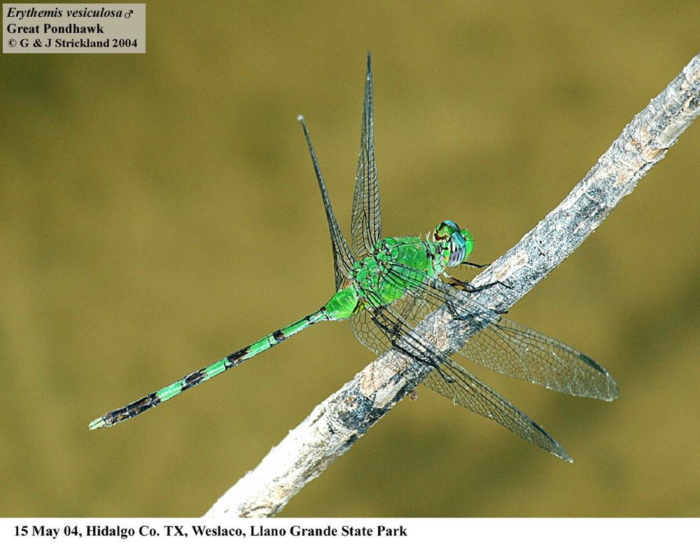 E. vesiculosa male (Great Pondhawk)