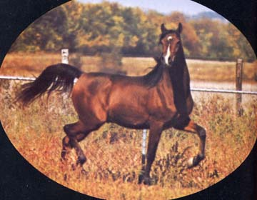 AABANAT #157739 (Banat x Atalanta, by Kossak) 1977-1991 bay stallion bred by Patricia Lindsay; imported to the USA from Britain 1977. Sired 100 registered purebreds