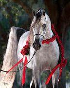 KM BUGATTI (Versace x Sanegors Lady D, by Simeon Sanegor) 2005 grey stallion