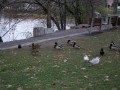 Mallards and Gulls, Billings Bridge