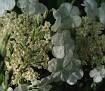 Sargent Viburnum (Viburnum sargentii)