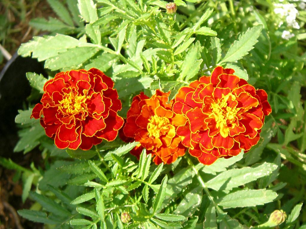 marigolds 6 27 04