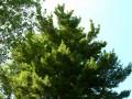 DSCN1919  Tree at Pine Manor College