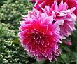 Chrysanthemum KF8