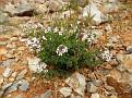 Aethionema saxatile ssp  graecum (3)