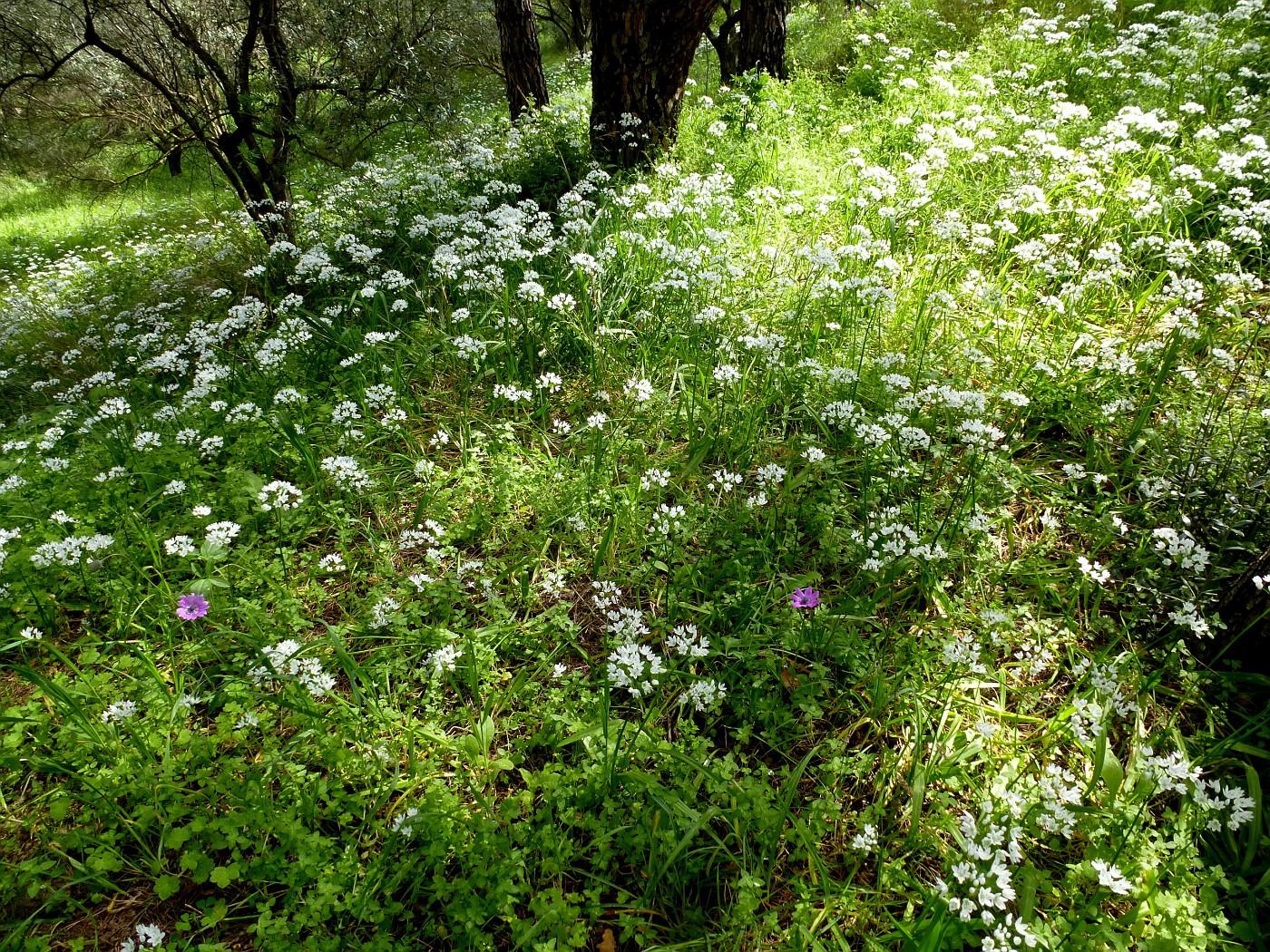 Allium neapolitanum (5)