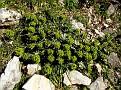 Euphorbia myrsinites (4)