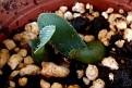 Haemanthus albiflos seeds from variegated plant (5)
