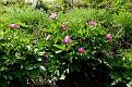 Paeonia mascula subsp  mascula (38)