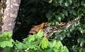 Orange-colored green iguana