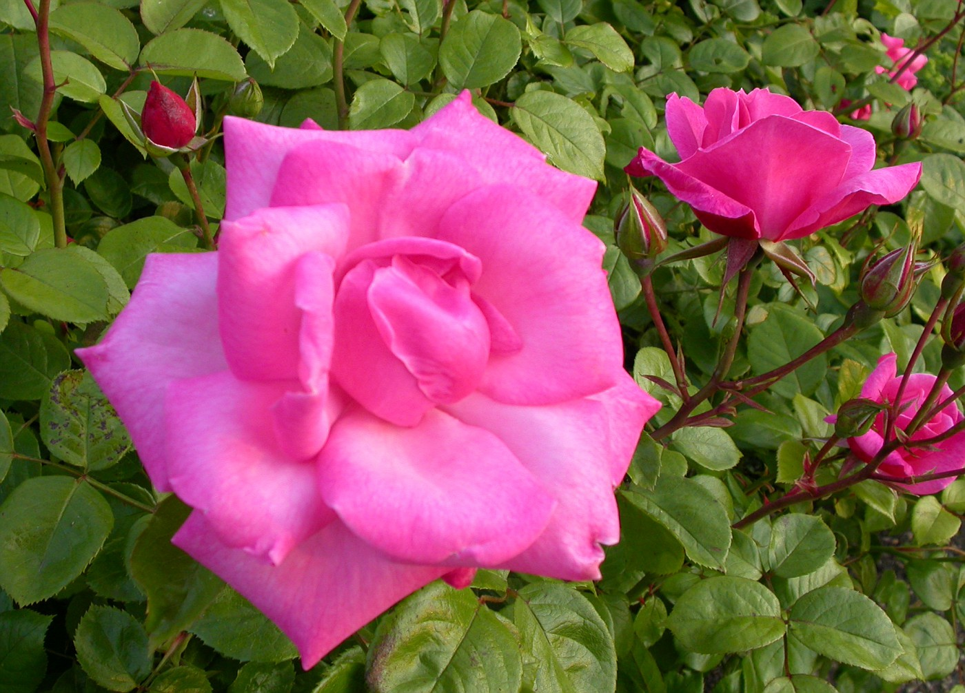 These roses are in the rose garden at Hyde Park Corner.
