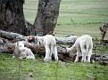 Lambs playing on Yarras Lane Bathurst 013