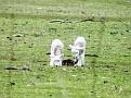 Lambs playing on Yarras Lane Bathurst 014