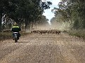Droving a mob of sheep in the Pilliga 009