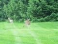 deer 012