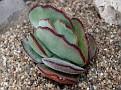 Cotyledon orbiculata x v  undulata