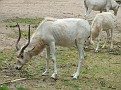 Addax. Antilope
