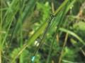 Eastern Forktail Damselfly (Ischnura verticalus)