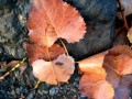 Beech Leaves