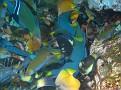 Mass fish feeding on Sargeant Majors eggs