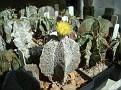 Astrophytum myriostigma forma potosina