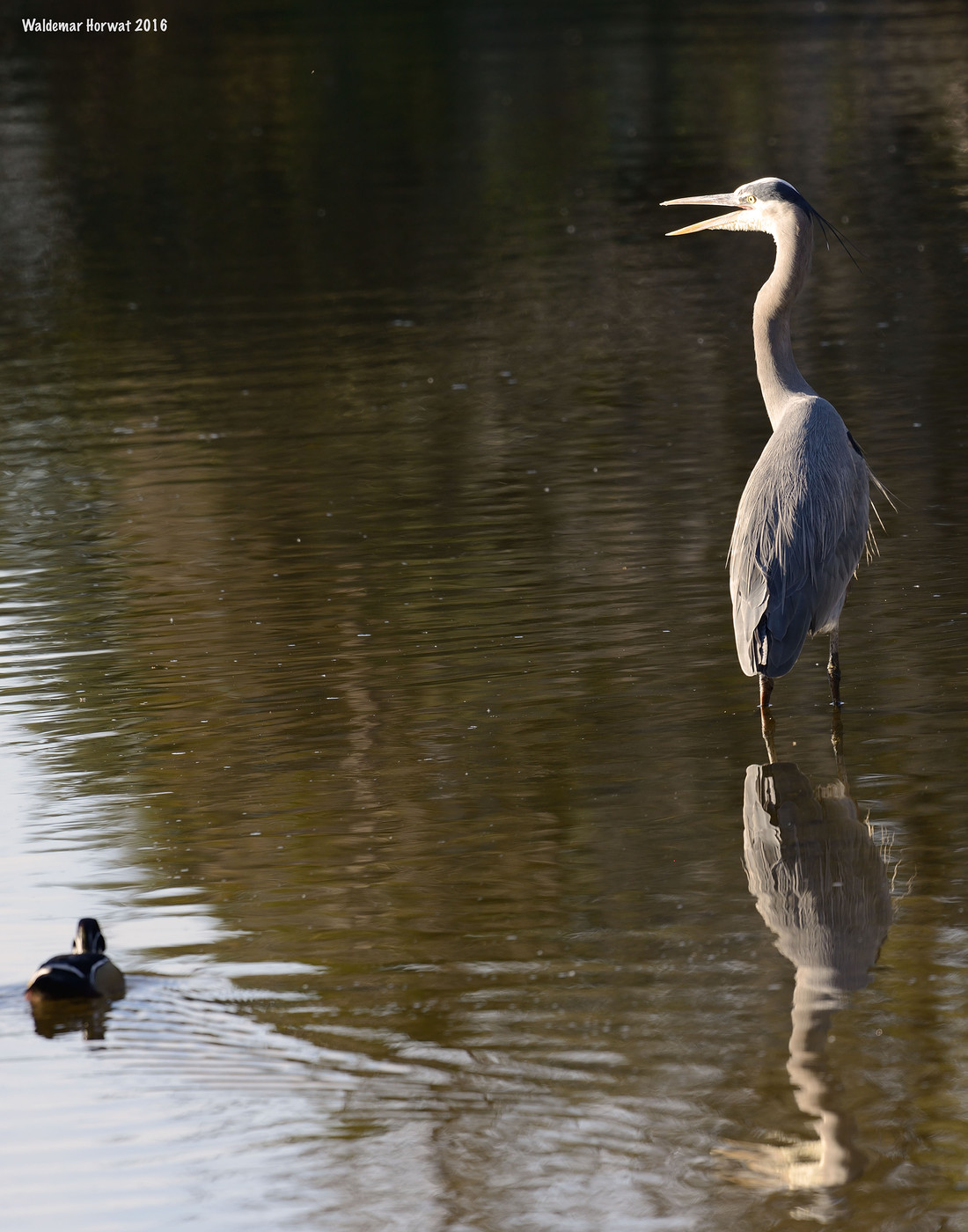 Great Blue Heron and Wood Duck